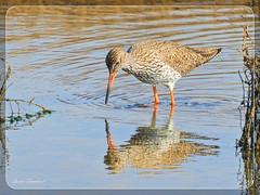 Ο Κοκκινοσκέλης στο Εθνικό Πάρκο Δέλτα Αξιού !!! (Spiros Tsoukias) Tags: hellas thessaloniki flamingo καλοχώρι δήμοσ δέλτα φλαμίνγκο φοινικόπτερα ερωδιοί αργυροπελεκάνοι αργυροτσικνιάδεσ λευκοτσικνιάδεσ βαρβάρεσ γεράκια πάπιεσ φαλαρίδεσ θεσσαλονίκη ορνιθοπανίδα πάρκοκέρκυρασ υδρόβιαπτηνά γαλλικόσ αξιόσ λουδίασ αλιάκμονασ εθνικόπάρκο δέλτααξιού ελλάδα μακεδονία πουλιά κύκνοσ κύκνοι λιμνοθάλασσα φύση ποτάμια greece macedonia birds lagoon nature rivers grecia uccelli laguna natura fiumi griechenland mazedonien vogel lagune natur flusse grece macedoine oiseaux rivieres axiosdelta national park aquaticbirds swan swans πελεκάνοσ κορμοράνοσ στρειδοφαγοσ κοκκινοσκέλησ