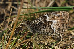 Grayling (Hipparchia semele)  (2) (Richard Collier - Wildlife and Travel Photography) Tags: wildlife naturalhistory nature insects bugs macro closeup butterflies grayling british