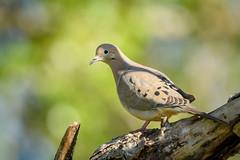 Mourning Dove (Becky Matsubara) Tags: avian bird birds columbidae dove huilotacomún modo mercednationalwildliferefuge mourningdove nature outdoors tourterelletriste wildlife zenaidamacroura