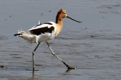 My feathers are all mussed up....6O3A8438A (dklaughman) Tags: avocet bombayhookwildliferefuge delaware