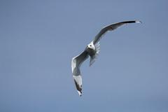 Seagul incoming (-Lervåg-) Tags: bird seagul telezoom sigma canon 60d flying norway grimstad exploring blue fugl måke flyging utforsking norge blå