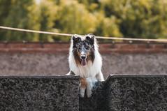 Lulo. (Gerardo Nava Fotografía) Tags: sony alpha a57 sonyflickraward sonyalpha sonyméxico sonyalphamexico sonyzeiss zeiss zeisslens sonnart18135za sal135f18z sonnart18135 portrait retrato bokeh dog doggie doggy animales domesticos collie