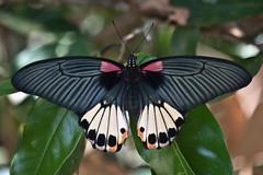 Papilio memnon agenor (Great Mormon) - female f. agenor (GeeC) Tags: animalia arthropoda butterfliesmoths cambodia greatmormon insecta kohkongprovince lepidoptera nature papilio papiliomemnonagenor papilionidae papilionoidea tatai truebutterflies