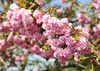 DSC_3688 (Thomas Cogley) Tags: brogdale national fruit collection faversham kent england uk thomas cogley thomascogley hanami festival tree flower blossom spring petal nature natural outdoors