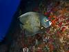 French Angelfish (R. Donald Winship Photography) Tags: aquaticlife cozumel divingunderwater filipexicotencatlwreck frenchangelfish