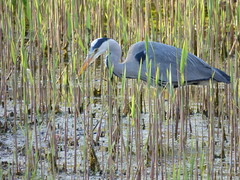 Heron (LouisaHocking) Tags: heron british bird birds cardiff forest farm nature wildlife wild