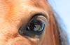 Spiegelungen im Auge des Pferdes (@frauchi) Tags: natur pferd tier auge canoneos700d makro nahaufname huftier