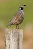 California Quail (Ryan Jeske) Tags: california canon80d pointreyes wildlife bird quail californiaquail telephoto canon canonef100400mmf4556lisiiusm pointreyesnationalseashore animal ng