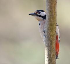 cache-cache (guiguid45) Tags: nature sauvage oiseaux bird picidés forêt loiret d810 nikon 500mmf4 picépeiche dendrocoposmajor piciformes greatspottedwoodpecker affût