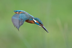 Kingfisher - male (http://deniseagling.photography) Tags: