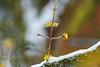 new shoots (Lutz Koch) Tags: baum tree spross trieb shoot natur nature taunus idstein elkaypics lutzkoch spring frühling winter schnee snow märz march bokeh