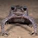Emei Moustache Toad(Leptobrachium boringii)