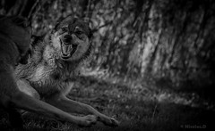 Echec au roi... (Pilouchy) Tags: king eyes yeux regard life vie wild nature monochrome blackandwhite wood forest lumiere light roi