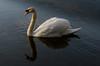 The swan (Chris Hamilton Photography) Tags: d7200 swan bird wildlife white nikon flickr beauty graceful