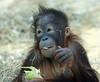 orangutan Sabbar Ouwehand BB2A3389 (j.a.kok) Tags: orangutan orangoetan animal ouwehands aap ape mammal monkey mensaap zoogdier dier primaat primate sabbar asia azie