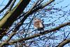 Fieldfare (ivlys) Tags: darmstadt kleinerwoog park vogel bird tier animal wacholderdrossel fieldfare turduspilaris baum tree wiese meadow natur nature ivlys