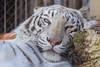 Sleepyhead (Belteshazzar (AKA Harimau Kayu)) Tags: sky tiger zoo animal bigcat bigcats feline bengaltiger pantheratigristigris königstiger indischertiger eltigredebengala tigredubengale latigrerealedelbengala бенгальскийтигр 孟加拉虎 whitetiger weisertiger tigreblanco tigreblancroyal белыйтигр 孟加拉白虎 zooshot tobu tobuzoo snowwhite sunbathing canada playful playfulcat playfultiger playfulwhitetiger bengal sex blueeyes curiosity nightzoo whenyouwishuponastar