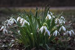 Spring on its way (redfurwolf) Tags: spring snowdrops nymphenburg park flowers ground nature road outdoor redfurwolf sonyalpha a7r sel90f28g
