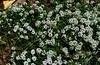 Florecillas de Allyssum... (MariaTere-7) Tags: flores florecillas allyssum malecón bertolotto lima perú mariatere7