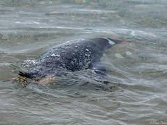 On board of Hebridean Sky. Neko Harbour, underwater Gentoo Penguin 11-14-2017 6-39-35 PM (solomon.trainin) Tags: penguin antarctica bird