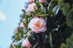 Camellia (shinichiro*) Tags: 20180310sdim1008 2018 crazyshin sigmasdquattroh sdqh sigma1770mmf284dcmacrohsm march spring flower macro camellia kawasaki kanagawa japan jp