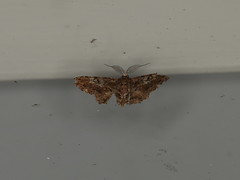 Ennominae sp. (dhobern) Tags: 2018 china lepidoptera march xtbg xishuangbanna yunnan geometridae ennominae