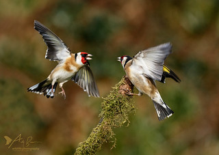Battling Goldfinches
