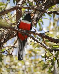 Chiffon (slsjourneys) Tags: eleganttrogon trogon canyon huachucamountains arizonabirds