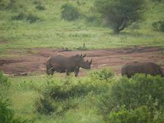 Rhinos (RV Bob) Tags: rhino gx85 kruger krugernationalpark africa animal southafrica