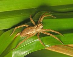 Nursery Web Spider on Sedge (Martin Cooper Ipswich) Tags: pisaura mirabilis pisauramirabilis nursery web tent spider arachnid ipswich suffolk sedge