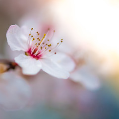 Springy Spring (DobingDesign) Tags: blossom flower macro macrophotography smooth bokeh closeup petals soft stamen pollen organic growing beauty nature surreynature surbitonblossom delicate depthoffield spring springisfinallyhere