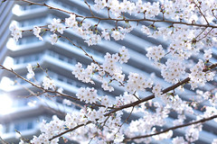Sakura (*tmk*) Tags: sakura cherryblossom flower bokeh sony japan blue sky spring landscape happiness