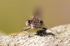 In Your Eyes (Sky_Guy) Tags: winterlibelle commonwinterdamselfly damselfly kleinlibelle odonata nikond5300 nikon d5300 sigma 105mm sigma105mm makro macro insekt insects nature animals natur closeup poträt dragonfly macromondays circles hmm