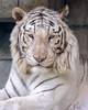 I Won't Say Meow (Belteshazzar (AKA Harimau Kayu)) Tags: rocky kara tiger zoo animal bigcat bigcats feline bengaltiger pantheratigristigris königstiger indischertiger eltigredebengala tigredubengale latigrerealedelbengala бенгальскийтигр 孟加拉虎 whitetiger weisertiger tigreblanco tigreblancroyal белыйтигр 孟加拉白虎 zooshot tobu tobuzoo snowwhite sunbathing canada playful playfulcat playfultiger playfulwhitetiger bengal