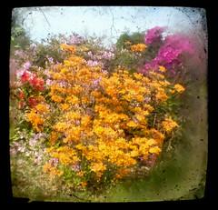 Azaleas (1) TtV (Neal3K) Tags: henrycountyga georgia flowers ttv throughbrowniereflexviewfinder square coloryellow blur flare azaleas