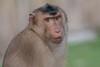Schweinsaffe (heribertfischer) Tags: nikon d 500 primaten zoom erlebniswelt