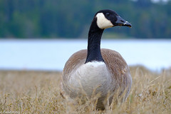 Canada Goose Feeding Esquimalt Lagoon (david byng) Tags: esquimaltlagoon spring vancouverisland pacificocean birds colwood canadagoose britishcolumbia 2018 canada