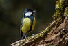 Carbonero común - Bosque de Orgi (Heranv) Tags: pájaro ave carbonero comun bosquedeorgi bosque orgi primavera