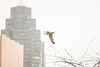 In Flight (A Great Capture) Tags: condominium condo building enroute inflight seagull outdoor outdoors sky himmel ciel bird vogel oiseau πουλί madár uccello ptak pássaro птица vták fågel 새 鸟 skyline towers tower buildings cityscape urbanscape eos digital dslr lens canon 70d ef70200mm agreatcapture agc wwwagreatcapturecom adjm ash2276 ashleylduffus ald mobilejay jamesmitchell toronto on ontario canada canadian photographer northamerica torontoexplore spring springtime printemps 2018