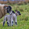 Scottish Blackface family ~ Explored (Margaret S.S) Tags: ewe scottish blackface sheep lambs