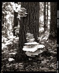 Oak Tree Fungus (imageryRED) Tags: pentax kodak film medium format landscape tree oak