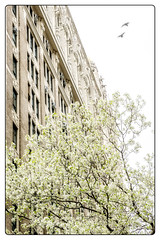 Spring Blossoms (JMS2) Tags: architecture spring blooming blossoms tree flowers newyorkcity