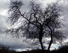 Tree in the sky (talaakso) Tags: finland hausjärvi kevät olympus olympustoughtg5 sky spring tg5 toughtg5 taivas terolaakso baretree branches clouds gloom moln oksat paljas paljaspuu talaakso tree puu silhouette