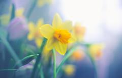 Daffodils (Dhina A) Tags: sony a7rii ilce7rm2 a7r2 kmz helios 33 35mm f2 vintage moviecamera lens cine swirl swirly bokeh daffodils flower spring