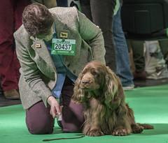 GAZ_1163 (garethdelhoy) Tags: dog sussex spaniel crufts 2018 kennel club