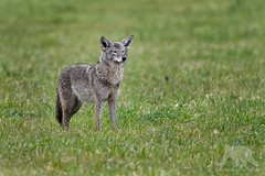 Wet Coyote (fascinationwildlife) Tags: animal mammal wild wildlife nature natur national park point reyes predator coyote coast california usa america field wet koyote morning