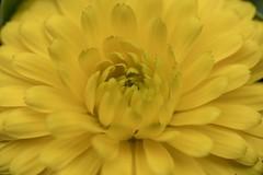 Flower macro (billcoo) Tags: xf80mm fujifilm garden plant yellow bokeh fujinon