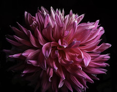 Pink And White Dahlia (Bill Gracey 19 Million Views) Tags: dahlia pink white color colorful colors offcameraflash yongnuo yongnuorf603n sandiegocountyfair fleur flower flor darkbackground nature naturalbeauty sidelighting directionallight