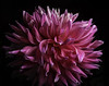 Pink And White Dahlia (Bill Gracey 17 Million Views) Tags: dahlia pink white color colorful colors offcameraflash yongnuo yongnuorf603n sandiegocountyfair fleur flower flor darkbackground nature naturalbeauty sidelighting directionallight