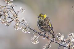 Ocell & primavera (Enllasez - Enric LLaó) Tags: gafarró aves aus serín bird ocells pájaros 2018 cerveradelmaestre cerveradelmaestrat cervera